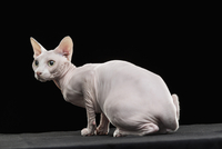 Close-up of alert Sphynx hairless cat looking away against black background