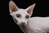 Close-up of Sphynx hairless cat looking away against black background