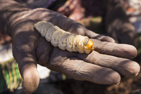 Cropped image of hand holding witchetty grub