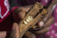 Cropped image of hands holding broken branch with witchetty grub in it