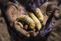 Midsection of man holding witchetty grubs