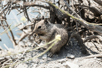 California ground squirrel eating nut among broken branches on sunny day