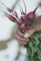 Cropped image of man's hand holding red radishes 11016034483| 写真素材・ストックフォト・画像・イラスト素材|アマナイメージズ