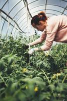Woman working over vegetable plants in greenhouse 11016034494| 写真素材・ストックフォト・画像・イラスト素材|アマナイメージズ