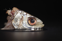 Close-up of raw fish head on table against black background