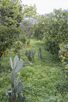 Cacti growing amidst orange trees in orchard