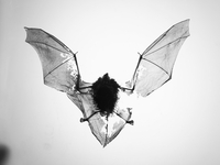 Close-up of bat fossil with torn wings against white background 11016034561| 写真素材・ストックフォト・画像・イラスト素材|アマナイメージズ