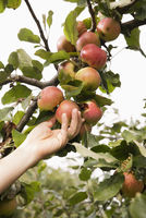 Cropped hand of woman picking apple from tree in orchard 11016034736| 写真素材・ストックフォト・画像・イラスト素材|アマナイメージズ