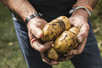 Midsection of man holding dirty potatoes in garden 11016034746| 写真素材・ストックフォト・画像・イラスト素材|アマナイメージズ