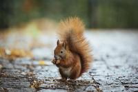 Close-up of squirrel on footpath 11016034897| 写真素材・ストックフォト・画像・イラスト素材|アマナイメージズ