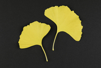 Directly above shot of yellow Ginkgo biloba leaves on black background