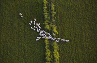 Directly above shot of sheep walking on grassy field