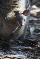Close-up portrait of young kangaroo in pouch