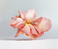Close-up of wilted flower on white background