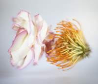 Close-up of wilted flower over white background