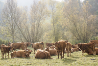 Cows with calves on field during sunny day