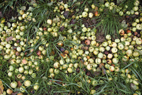 High angle view of rotten apples on field