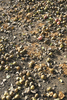 High angle view of rotten fruits on field during sunny day