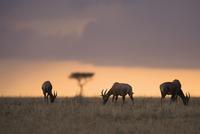 Waterbucks grazing on field during sunset 11016035304| 写真素材・ストックフォト・画像・イラスト素材|アマナイメージズ