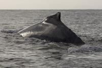 Humpback whale swimming in sea 11016035325| 写真素材・ストックフォト・画像・イラスト素材|アマナイメージズ
