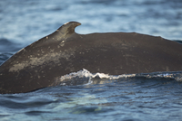 Humpback whale swimming in sea 11016035329| 写真素材・ストックフォト・画像・イラスト素材|アマナイメージズ