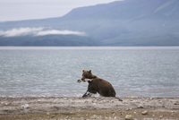 Kamchatka brown bear with salmon in mouth at lakeshore, Kurile Lake, Kamchatka Peninsula, Russia 11016035333| 写真素材・ストックフォト・画像・イラスト素材|アマナイメージズ