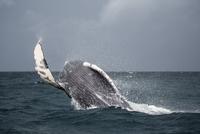 Humpback whale jumping in sea 11016035339| 写真素材・ストックフォト・画像・イラスト素材|アマナイメージズ