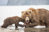 Kamchatka brown bear and cub eating fish at water's edge, Kurile Lake, Kamchatka Peninsula, Russia 11016035340| 写真素材・ストックフォト・画像・イラスト素材|アマナイメージズ