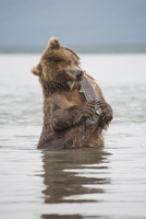Kamchatka brown bear eating salmon in water, Kurile Lake, Kamchatka Peninsula, Russia 11016035343| 写真素材・ストックフォト・画像・イラスト素材|アマナイメージズ