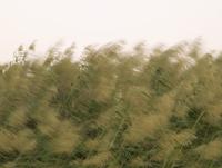 Pampas grass growing in field against sky 11016035386| 写真素材・ストックフォト・画像・イラスト素材|アマナイメージズ