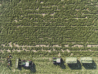 Directly above view of tractors and trailers of cabbage in field, St. Poelten, Austria 11016035555| 写真素材・ストックフォト・画像・イラスト素材|アマナイメージズ