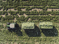 Directly above view of tractor and trailers of cabbage in field, St. Poelten, Austria 11016035559| 写真素材・ストックフォト・画像・イラスト素材|アマナイメージズ