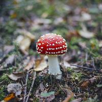 Close-up of fly agaric mushroom growing on land in forest 11016035735| 写真素材・ストックフォト・画像・イラスト素材|アマナイメージズ
