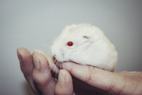 Close-up of white hamster on hands against gray background 11016035738| 写真素材・ストックフォト・画像・イラスト素材|アマナイメージズ