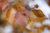 Close-up of maple leaves on branch