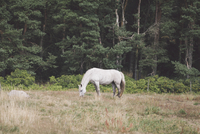 Side view of horse grazing on field by trees 11016035780| 写真素材・ストックフォト・画像・イラスト素材|アマナイメージズ