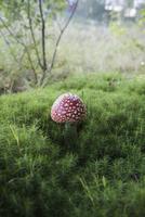 Close-up of Fly agaric mushroom growing on field 11016035781| 写真素材・ストックフォト・画像・イラスト素材|アマナイメージズ