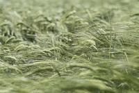 Full frame shot of green wheat field 11016035790  写真素材・ストックフォト・画像・イラスト素材 アマナイメージズ