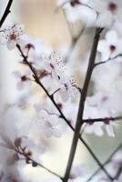 Close-up of cherry blossoms 11016035800  写真素材・ストックフォト・画像・イラスト素材 アマナイメージズ