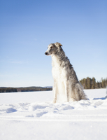 Borzoi looking away while sitting on snow covered field against clear blue sky 11016035828| 写真素材・ストックフォト・画像・イラスト素材|アマナイメージズ