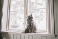 Maine Coon looking away while sitting on window sill 11016035856| 写真素材・ストックフォト・画像・イラスト素材|アマナイメージズ