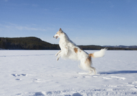 Side view of Borzoi jumping in snow covered field against blue sky 11016035859| 写真素材・ストックフォト・画像・イラスト素材|アマナイメージズ
