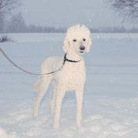 Portrait of poodle standing in snowy field 11016035864| 写真素材・ストックフォト・画像・イラスト素材|アマナイメージズ