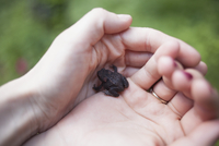 Cropped image of woman's hands holding frog outdoors 11016035867| 写真素材・ストックフォト・画像・イラスト素材|アマナイメージズ