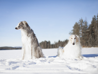 Borzoi dogs looking away while resting in snow covered field against clear blue sky 11016035871| 写真素材・ストックフォト・画像・イラスト素材|アマナイメージズ