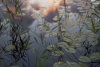 High angle view of lily pads in pond during sunset 11016035926  写真素材・ストックフォト・画像・イラスト素材 アマナイメージズ