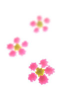 コンペイ糖で作った桜の花