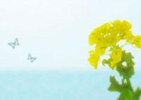 菜の花と蝶のイメージ