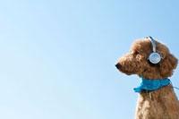 ヘッドホンで音楽を聴くプードル犬