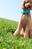 草原に座るプードル犬